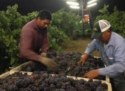 Pinot Gris 1 7_24_14