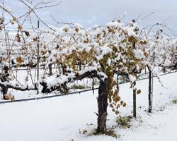 snow vines 1