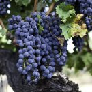Temecula Valley Vineyard & Grapes